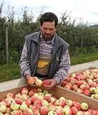 Neue Äpfel vom Bodensee