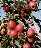 Apfelernte4