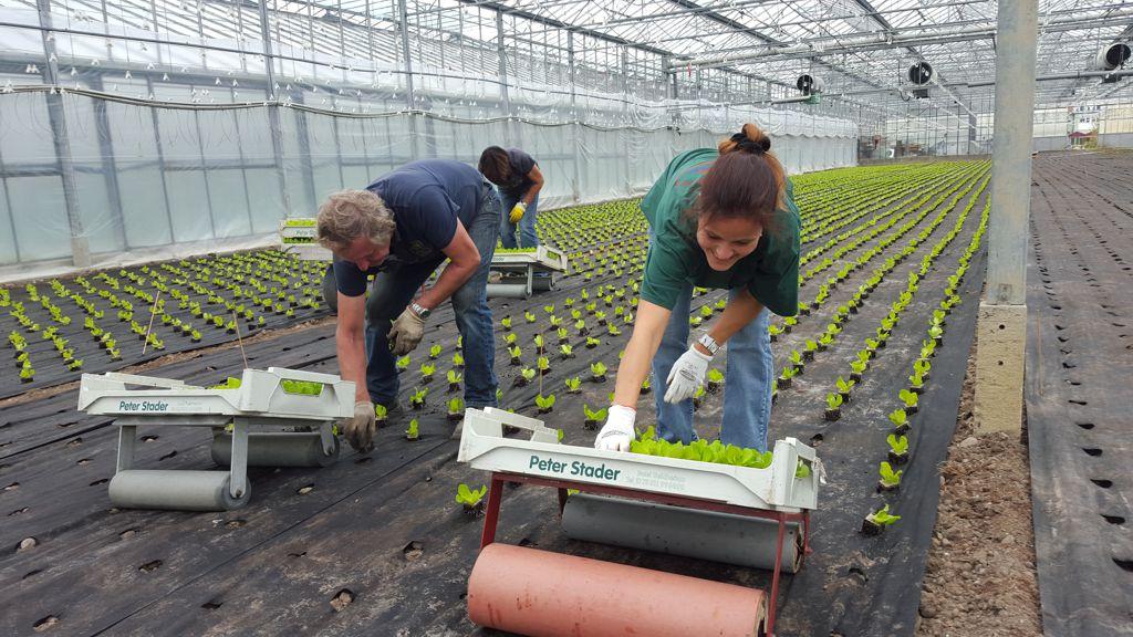 Die Pflanzen wachsen in einem mit Pflanzlöchern versehenem Flies. Außerdem stehen die setzlinge 3-4 cm über dem Boden. So haben wir viel weniger Probleme mit Fäulnis und Pilzkrankheiten.