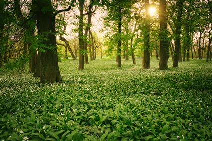 Bärlauch aus heimischen Wäldern