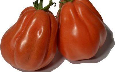 Ochsenherz-Tomate